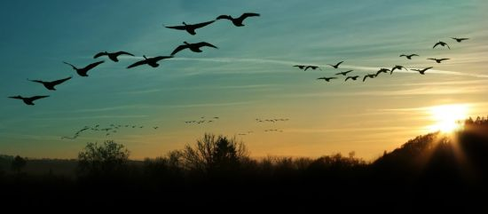 Geese photo for RNA home page - 123Rf - 16610705_m